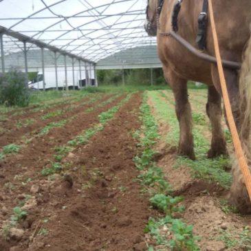 Premiers binages des pommes de terre
